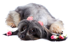 Decorative thoroughbred doggie and roses. Royalty Free Stock Photos