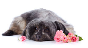 Decorative thoroughbred dog and roses. Royalty Free Stock Images