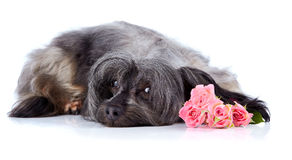 Decorative thoroughbred dog and roses. Stock Image