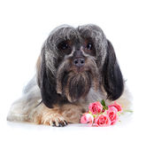 Portrait of a decorative dog with pink roses. Stock Image