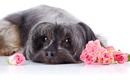 Portrait of a decorative dog with roses. Stock Photography