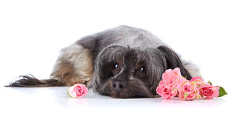 Decorative small shaggy doggie and roses. Stock Image