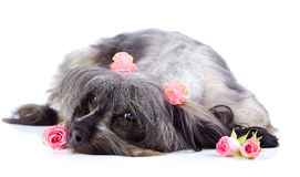 Decorative thoroughbred shaggy doggie and roses. Stock Photos