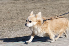 The small doggie walks on a lead Stock Images