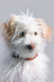 Small doggy. In front of grey background Stock Images