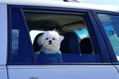 A small doggy. In a car Royalty Free Stock Photos