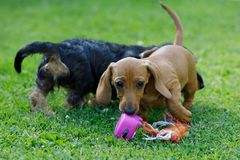 Small dogs dachshund plays in garden Royalty Free Stock Photography