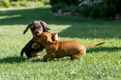 Small dogs dachshund plays in garden Royalty Free Stock Photos