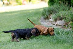 Small dogs dachshund plays in garden Stock Photo