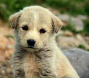 Small dogs Royalty Free Stock Image