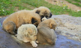Small dogs Royalty Free Stock Photos