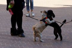 Small dogs playing. In the street Royalty Free Stock Photography