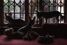 Small dogs silhouetted at a window