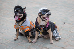 Small dogs in uniform. Pattaya, Thailand Royalty Free Stock Images
