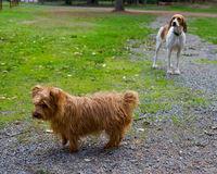 Small dogs in yard Royalty Free Stock Image