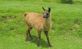 Small domestic alpaca on green grass. Alpaca lama in the Andes beautiful altiplano landscape near mountain Royalty Free Stock Photography