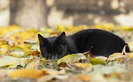 Small domestic black cat sleeping. On the leaves royalty free stock photos