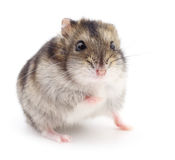 Small domestic hamster. Stock Photography