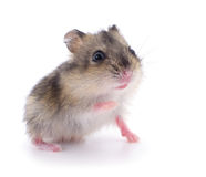 Small domestic hamster. Stock Photos