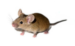 Small domestic mouse Royalty Free Stock Photos