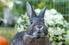 Small domestic rabbit in an autumn setting at sunset looking ahead Stock Photography