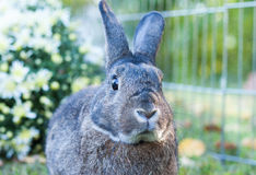 Small domestic rabbit in an autumn setting at sunset with mums in background Stock Image