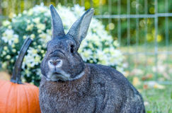 Small domestic rabbit in an autumn setting at sunset with pumpkins and mums in background. Small and adorable domestic bunny rabbit with precious and cute face Royalty Free Stock Photography