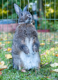 Small domestic rabbit in an autumn setting at sunset standing up Royalty Free Stock Photography