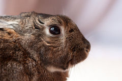 Small Domestic Rabbit mix with gentle look in eyes in soft background Royalty Free Stock Photo