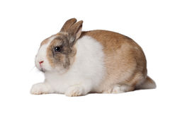 Small domestic rabbit Royalty Free Stock Photo