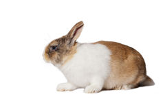 Small domestic rabbit Stock Photos