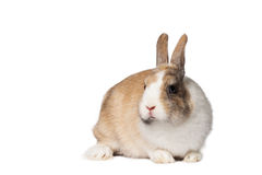 Small domestic rabbit Royalty Free Stock Images