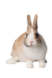 Small domestic rabbit Royalty Free Stock Photography