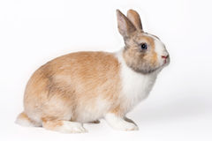 Small domestic rabbit Stock Photo