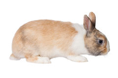 Small domestic rabbit Stock Images