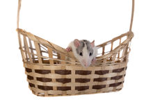 Small domestic rat Royalty Free Stock Photography