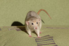Small domestic rat Royalty Free Stock Photo