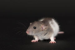 Small domestic rat Stock Photography
