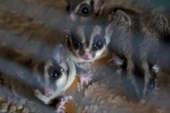 Small domestic sugar gliders having a meal royalty free stock images