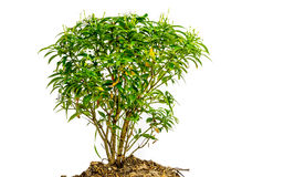 Small domestic tree isolated Royalty Free Stock Images
