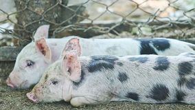 Small domestic pig with spots lay down next to another pig