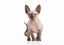 Small Don sphynx kitten on white background Stock Photos