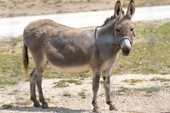 Small donkey on a country safari farm Royalty Free Stock Photography