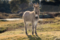 Small donkey walking in a meadow Royalty Free Stock Images