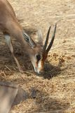 Small Dorcas gazelle in the zoo stock images