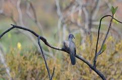 Small dove (Streptopelia senegalensis) Stock Photo
