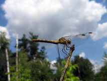 Small dragonfly Royalty Free Stock Images