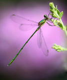 Small dragonfly Stock Image