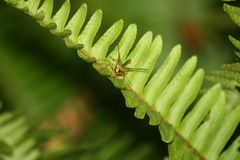 Small dragonfly on a fern branch. A close-up of a small dragonfly on a branch of a fern plant Royalty Free Stock Image