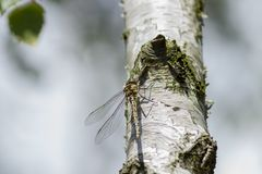 Small pause , soon it will continue. Small dragonfly sat on a birch on the sunny day. All in white Stock Photography
